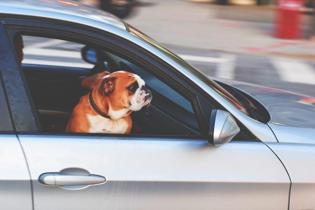 犬が自動車に乗っている